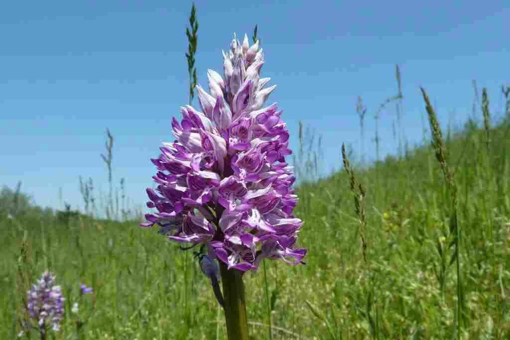 Védett orchideák - Maróc
